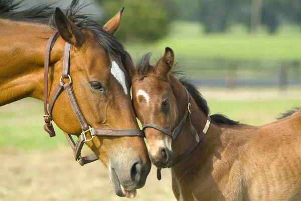 paarden ouder met veulen
