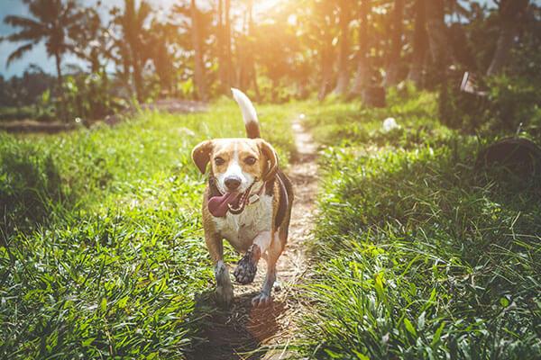 Beagle hond lopend op gras