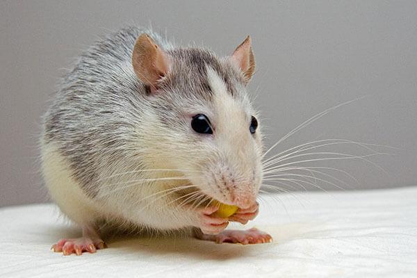 Zwart met witte muis