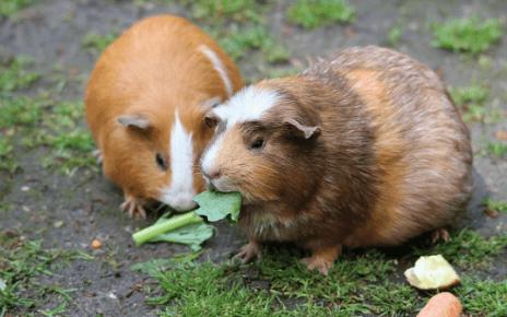 twee hamsters eten groen blad