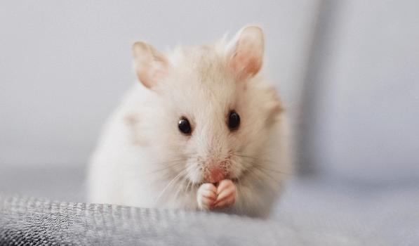 witte muis